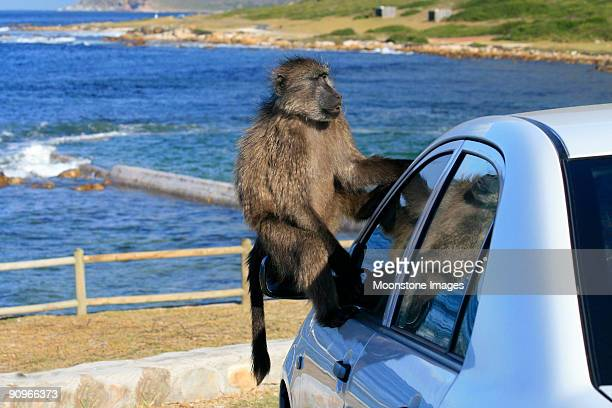 chacma baboon in cape town, south africa - chacma baboon stock photos and pictures