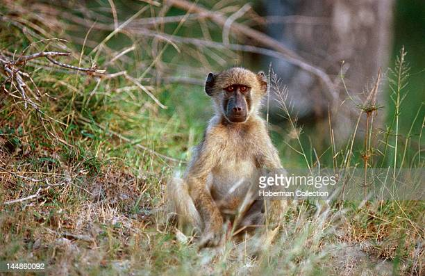Chacma Baboon in Grass South Africa