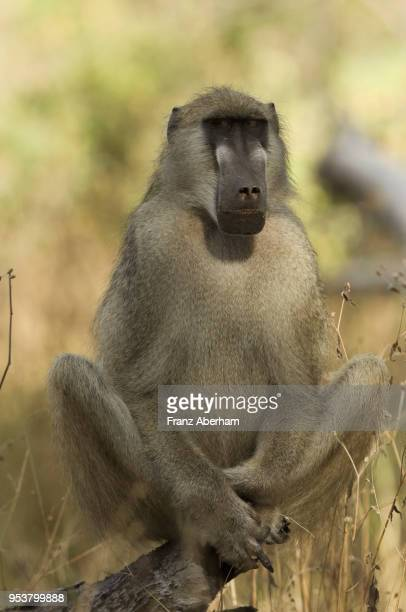 chacma baboon male, moremi game reserve, botswana - chacma baboon stock photos and pictures