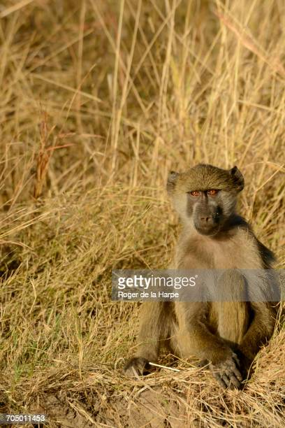 chacma baboon or cape baboon (papio ursinus). victoria falls. livingstone. zambia - chacma baboon stock photos and pictures