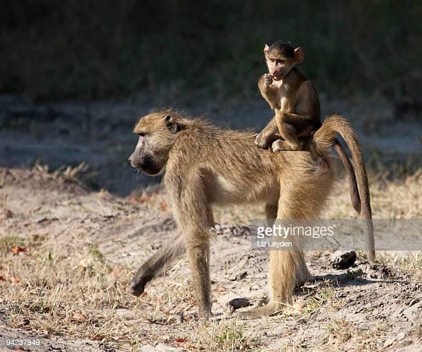 Chacma Baboon, Papio ursinus, mother and baby; Moremi, Botswana