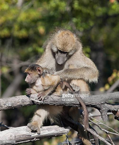 chacma baboon, papio ursinus, mother grooming baby; moremi, botswana - chacma baboon stock photos and pictures