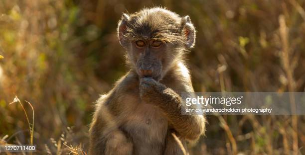 chacma baboon - mpumalanga province stock pictures, royalty-free photos & images