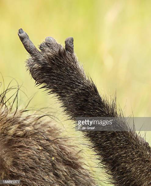 chacma baboon - animal finger stock photos and pictures