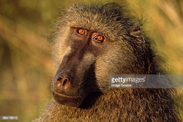 chacma baboon - chacma baboon stock photos and pictures
