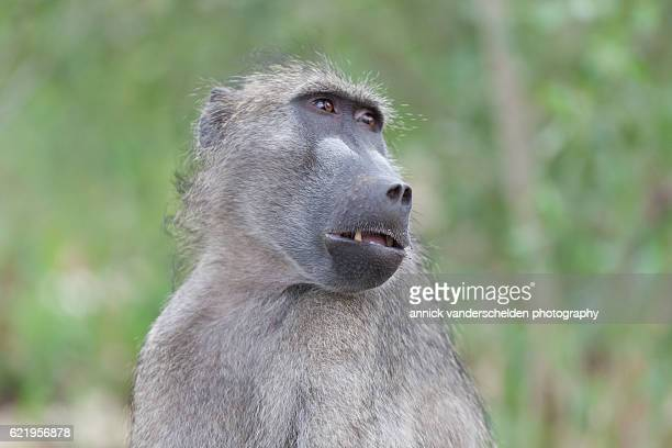 chacma baboon (papio ursinus). - chacma baboon stock photos and pictures
