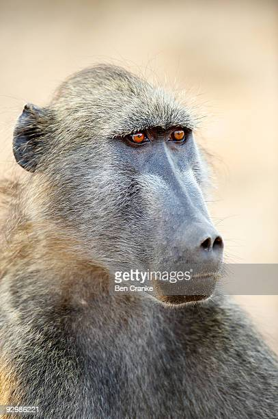 chacma baboon (papio ursinus) - chacma baboon stock photos and pictures