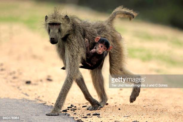 chacma baboon, (papio ursinus) - chacma baboon stock photos and pictures