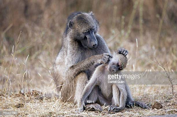 Chacma baboon (Papio ursinus) preening young, South Africa