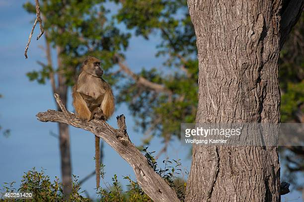 Chacma baboon sitting on a tree looking for predators at the Vumbura Plains in the Okavango Delta in northern part of Botswana