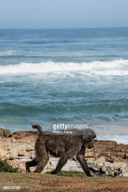 Chacma baboon walks along the Atlantic Ocean coast on the road to the Cape of Good Hope