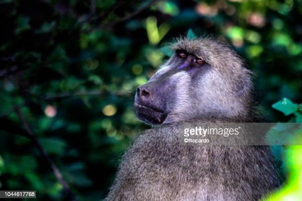 chacma baboon watching - chacma baboon stock photos and pictures