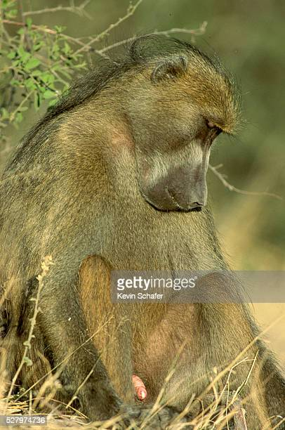 Chacma Baboon With Erection