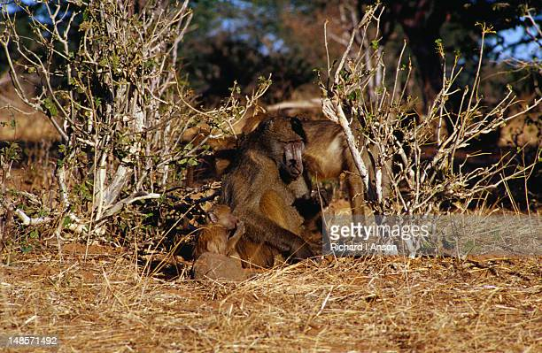 Chacma Baboon (  Papio ursinus ) with juvenile, Chobe National Park