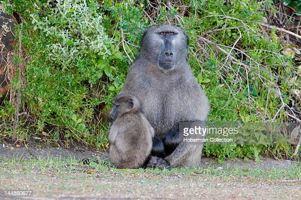 Chacma Baboons at Cape Point
