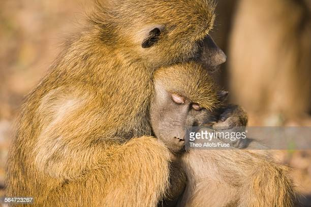 chacma baboons hugging - chacma baboon stock photos and pictures