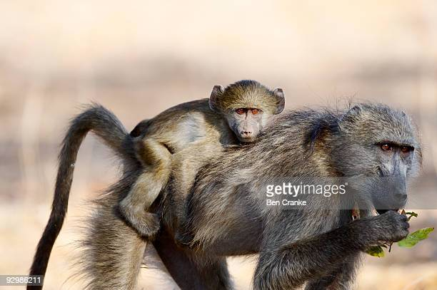 chacma baboons (papio ursinus) - chacma baboon stock photos and pictures