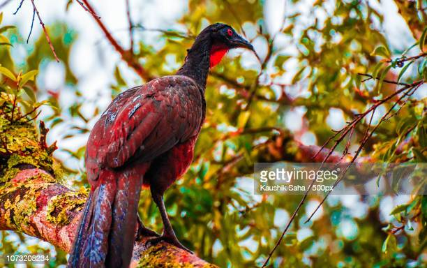 chaco chachalaca of brazil - hoatzin stock pictures, royalty-free photos & images