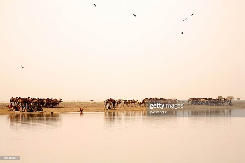 Chad, Nomads with their herds of camels on lake Gara : Stock Photo
