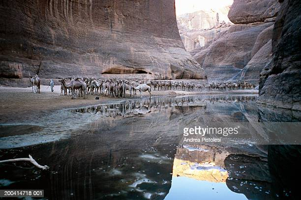 Chad, Sahara, Ennedi Massif, Archei Guelta Canyon, herd of camels