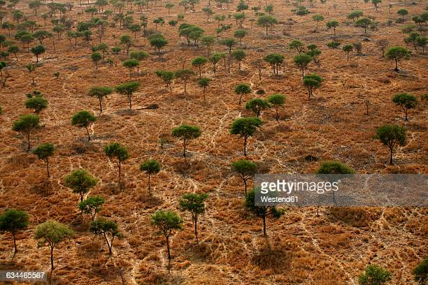 chad, zakouma national park, aerial view of a forest of acacias in the savannah - savannah stock photos and pictures