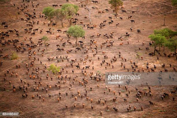 Chad, Zakouma National Park, Aerial view of herd of African buffalo, on the move