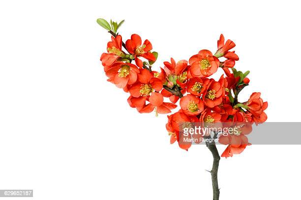Chaenomeles (Quince) twig with flowers.