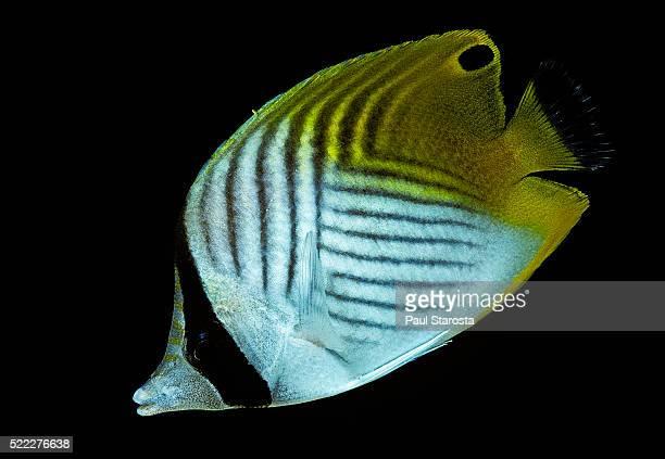 Chaetodon auriga (threadfin butterflyfish)