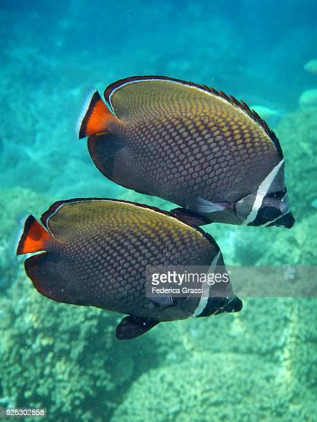 chaetodon collare (redtail butterflyfish), la digue island, seychelles, indian ocean - poisson avril photos et images de collection