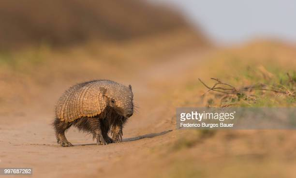 chaetophractus villosus - armadillo stock pictures, royalty-free photos & images