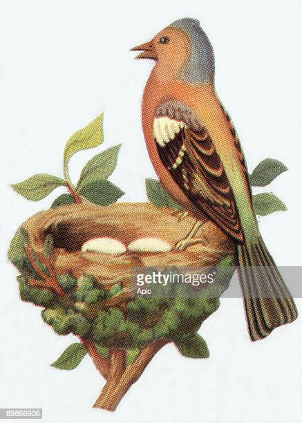 Chaffinch at the nest illustration 1963