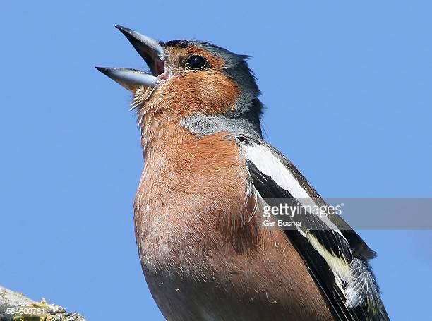 chaffinch in song - birdsong stock pictures, royalty-free photos & images