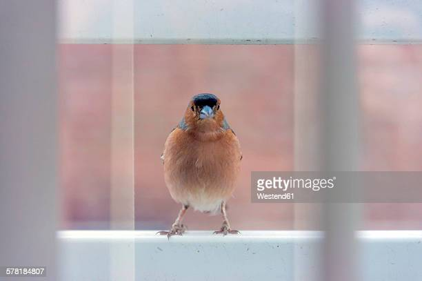 Chaffinch on a window sill
