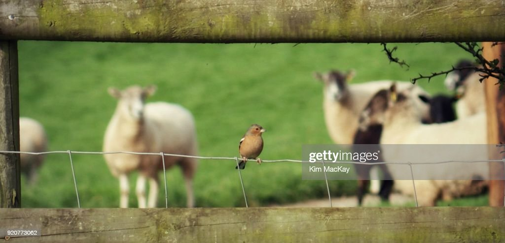 Chaffinch On Country Fence Sheep In Background Stock Photo