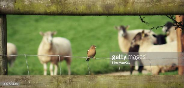 Chaffinch on country fence, sheep in background