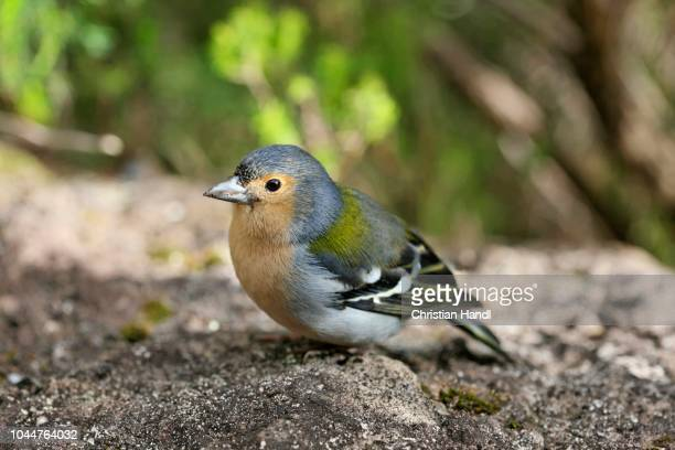 chaffinch or tentilhao (fringilla coelebs madeirensis), madeira, portugal - {{asset.href}} stock pictures, royalty-free photos & images