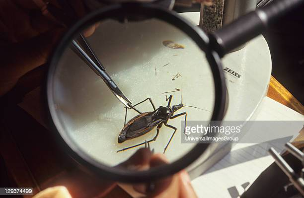 Chagas Disease, Brazil, Rio De Janeiro, Oswaldo Cruz Institute, Research Into Chagas Disease, Rhoduius Prolixus feeding on blood, Chagas is an...
