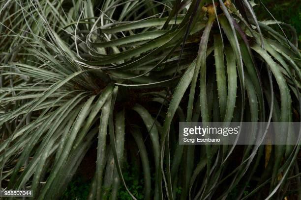 Chagual,Puya berteroniana plant