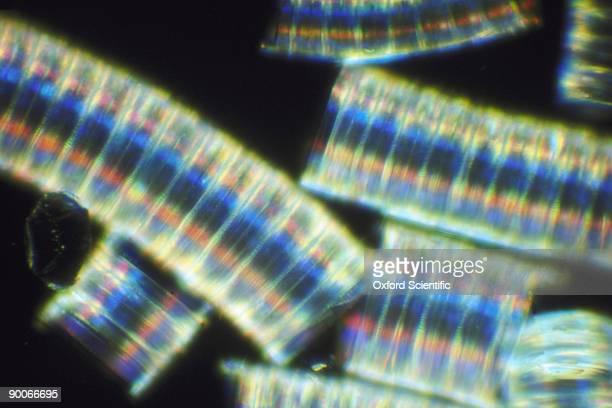 chain diatoms melosira sp.