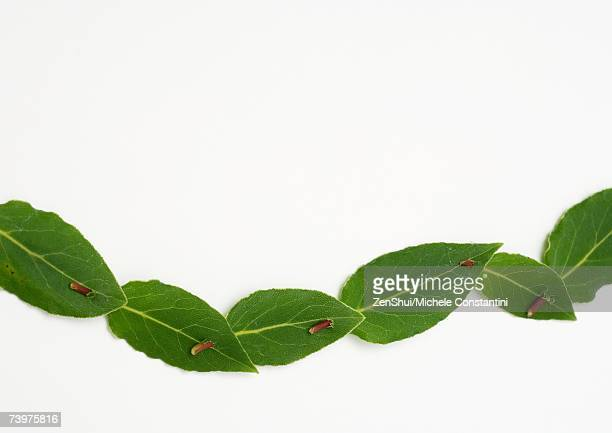 Chain of fresh laurel leaves