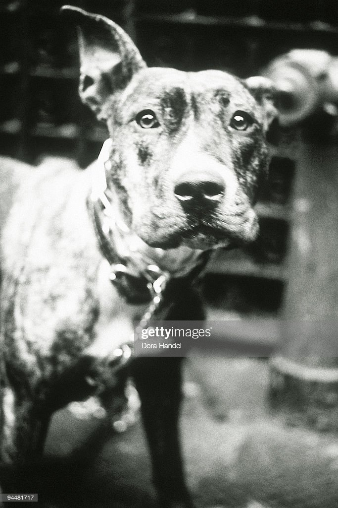 Chained dog : Stock Photo