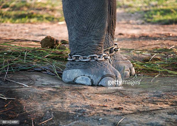 Chained elefant