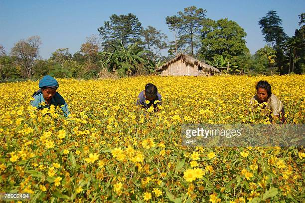 Chakma women work in a sunflower field in the Bijoypur Chakma refugee village in Diyun about 700 kms from Itanagar capital of the northeastern state...