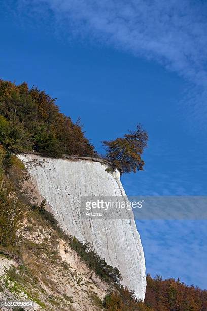Chalk cliff and tree on the verge of dropping due to erosion in Jasmund National Park on Rugen Island on the Baltic Sea Germany