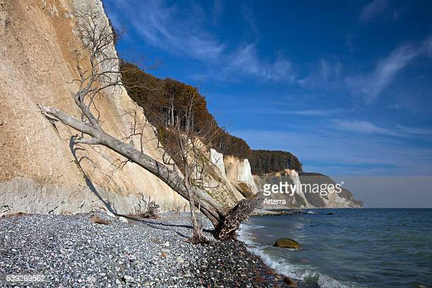 Chalk cliffs and fallen tree due to erosion in Jasmund National Park on Rugen Island on the Baltic Sea Germany