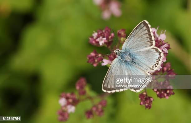 A Chalk Hill Blue Butterfly (Polyommatus coridon) nectaring on a  flower.
