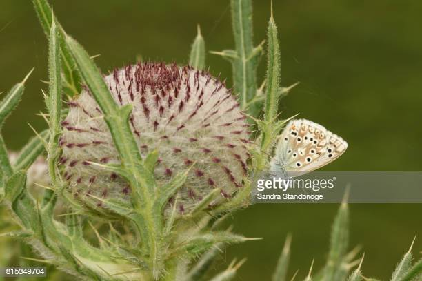 A Chalk Hill Blue Butterfly (Polyommatus coridon) perched on a thistle.