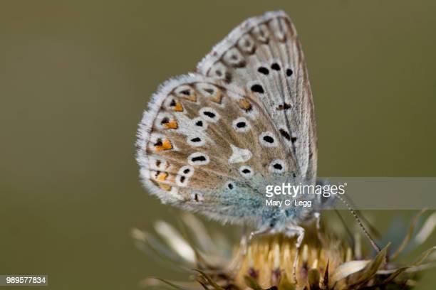 Chalk Hill Blue, Polyommatus coridon