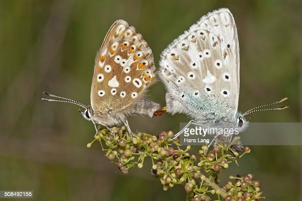 Chalkhill Blue butterflies -Lysandra coridon-, copula, left female, right male, Neresheim, Baden-Wuerttemberg, Germany, Europe