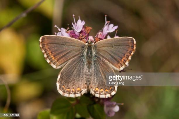 Chalkhill Blue butterfly (Lysandra coridon), female, Neresheim, Baden-Wuerttemberg, Germany